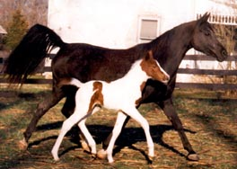 WW Black Squeeze with foal Colored with Pizzazz