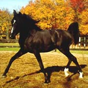 Midnight Enchantr as a yearling