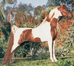 http://www.asarabians.com/Images/Research/Chubasco.jpg