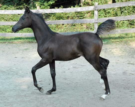 Cedric, Wild Silver Beyviana-3mths-61