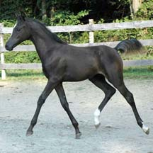 2007 Homozygous Black Arabian Filly