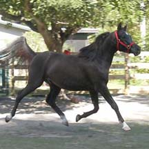 2005 Black Arabian Colt