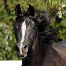 Midnights Echo - 2003 Black Filly