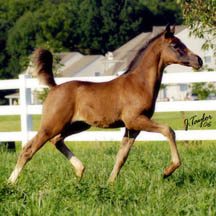 2006 Black Arabian Colt